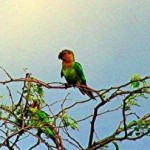 CARIBBEAN PARAKEET Aratinga pertinax