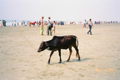 Cow and Horse on Cox's Bazar Beach, Bangladesh